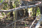 В Бразилии туристы, путешествуя по территории тектонической впадины Пантанал, стали свидетелями охоты ягуара на каймана.