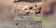 В национальном парке Крюгера в ЮАР туристы стали очевидцами того, как леопард неожиданно для себя встретил добычу.