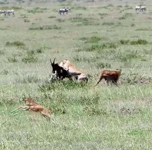 Туристы в кенийском национальном парке Масаи-Мара сняли на видео, как гепарды напали на антилопу, проигнорировав ее детеныша.