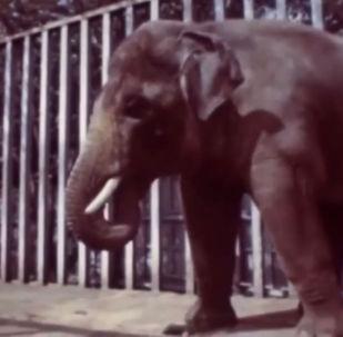 Уникальный слон по кличке Батыр, живший в Казахстане, какое-то время был звездой новостных лент советских и зарубежных СМИ. Но сейчас о животном позабыли.