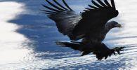 Белохвостый орлан. Архивное фото