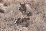 В кенийском заповеднике Масаи-Мара туристы стали свидетелями шокирующей сцены, когда охотившийся степной кот стал жертвой леопарда.