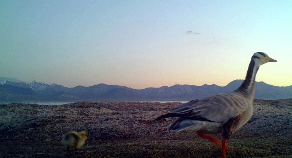 Корук аймактарында сейрек кездешкен жаныбарлар менен келгин куштардын саны көбөйүүдө.