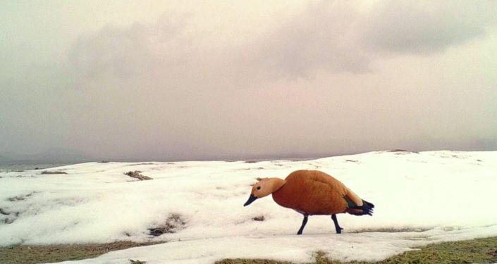 В кадр фотоловушек попали перелетные птицы в государственном природном заповеднике Каратал-Жапырык