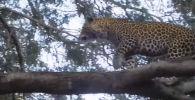 Противостояние бабуина с леопардом в национальном парке Нижняя Замбези в Зимбабве едва не завершилось для последнего смертельным исходом.