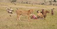 Видео снято в кенийском заповеднике Масаи-Мара (Кения). Гиены убили зебру и вовсю трапезничали, когда появилась львица.