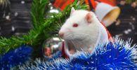 Крыса по кличке Пухляш под новогодней елкой в одном из магазинов сети Бетховен. Белая крыса - символ Нового 2020 года.