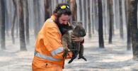 Австралиялык өрт өчүргүч куткарылган коала менен. Архив