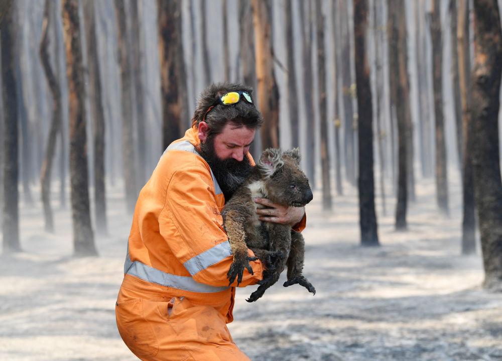Куткарылган коала. Акыркы маалыматтарга караганда. бул жаныбарлардын 8 000и өрттөн өлгөн