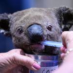 Австралиядагы Порт-Маккуори шаары. Куткарылган коала процедура учурунда