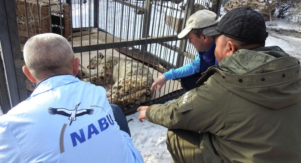 Ветеринары наблюдают снежным барсом, привезенным из Джумгальского района Нарынской области