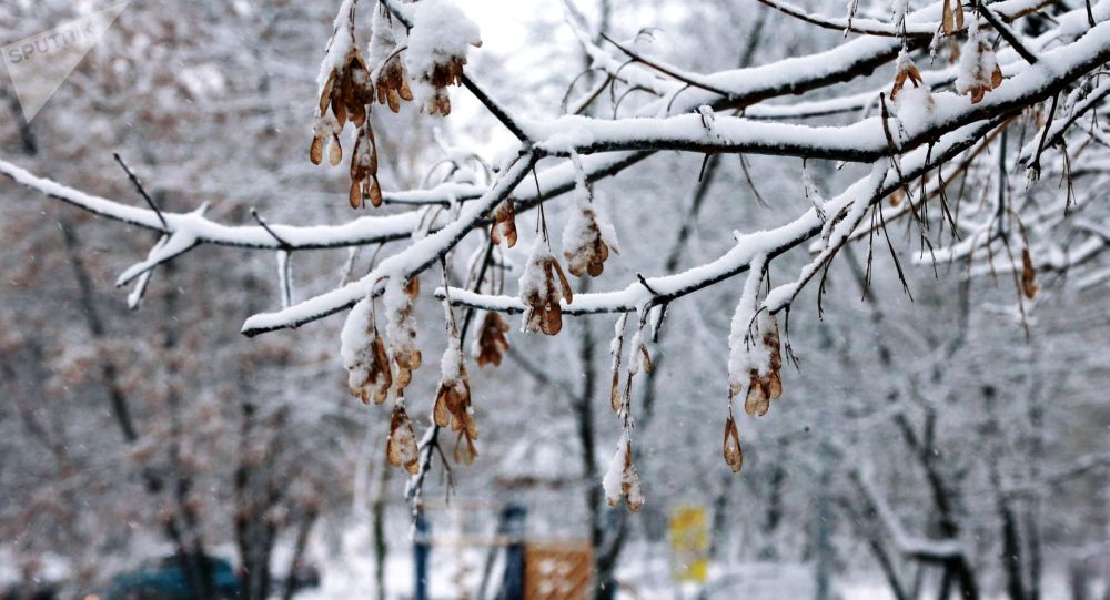 Снег на ветке дерева. Архивное фото