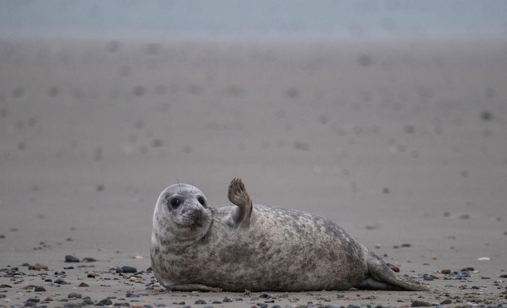 Тюлень на пляже острова Хельголанд (Германия)