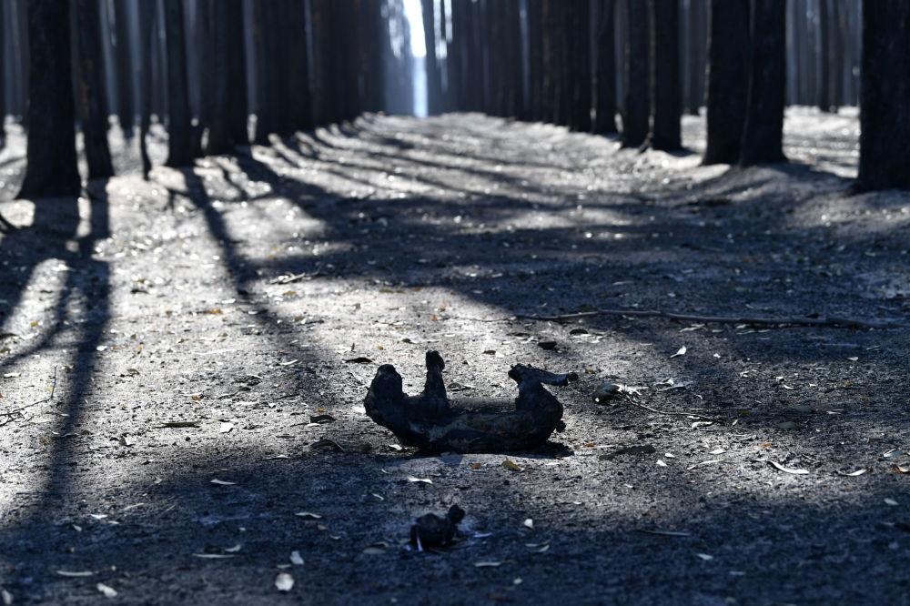 Коала на острове Кенгуру  умершая из-за лесных пожаров в Австралии. В стране в результате природных пожаров выгорели уже миллионы гектаров земли, огонь за последние месяцы унес жизни 17 человек, уничтожил тысячу домов. По оценкам университета Сиднея, погибли более 1 миллиарда животных.