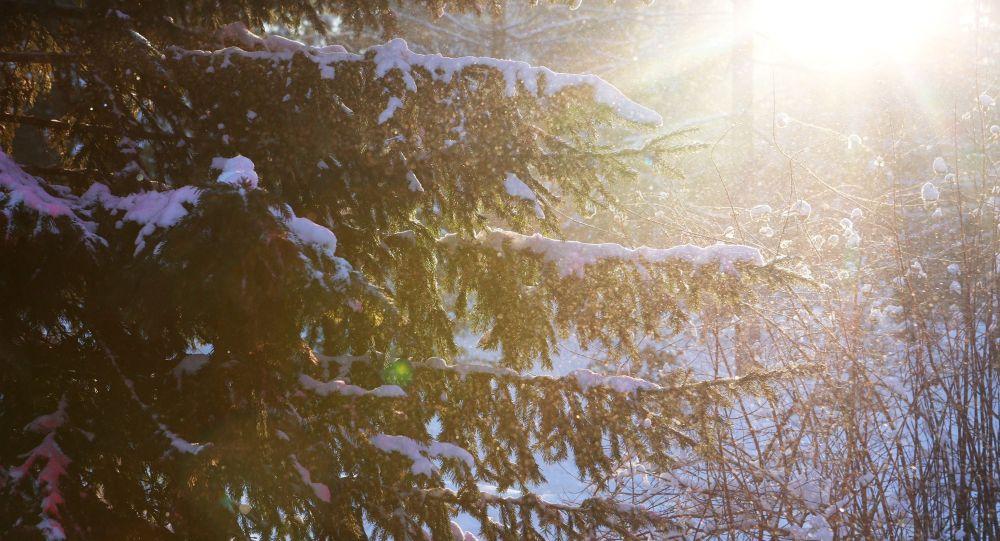 Лучи солнца проходят сквозь хвойное дерево. Архивное фото