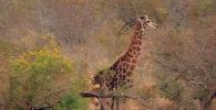 Кадры сняли в южноафриканском национальном парке Крюгера. Прайд хищников решил полакомиться жирафом. Чтобы отогнать хищниц, ему приходилось лягаться.