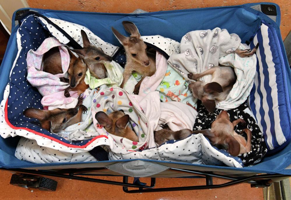 Кенгуру в госпитале для животных в Австралии