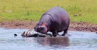 Посетители Национального парка Крюгера в ЮАР на экскурсии стали свидетелями крайне редкого зрелища — бегемот поедал зебру.