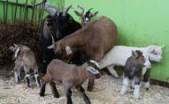 Козы и козлята. Архивное фото