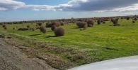 В Калифорнии (США) попало на видео тысячи оживших перекати-поле. Они подгоняемые сильным ветром выходили на дорогу, мешая проезду машин.