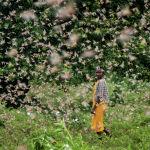 Фермер оглядывается назад, когда она ходит по роям пустынной саранчи, питающейся ее урожаем, в деревне Катитика, графство Китуй, Кения, в пятницу, 24 января 2020 года