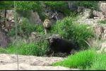 Канчалык күчтүү болгону менен жалгыз калган буйволго арстандар алгач даабай туруп, андан соң көптөп кетти. Жашоо үчүн күрөшкөн бул ирмемдер интернет айдыңына тарады.