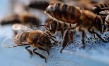 Пчелы. Архивное фото