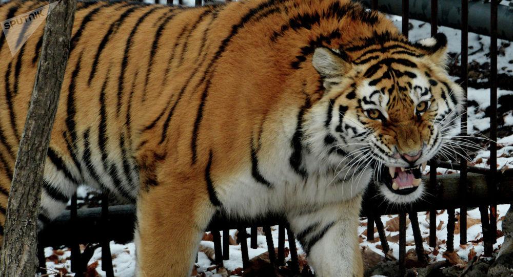 Молодой амурский тигр. Архивное фото