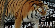 Тигрица в зоопарке. Архивное фото