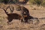 В южноафриканском заповеднике Мала-Мала экскурсовод запечатлел на видео, как самка леопарда разогнала дерущихся из-за нее самцов.