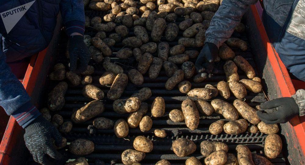 Сбор урожая картофеля. Архивное фото