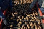 Картошка түшүмүн жыйноо. Архив