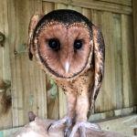 Австралийская сипуха, прошедшая реабилитацию в парке дикой природы Bonorong в Тасмании