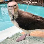 Белошапочный альбатрос