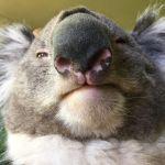 Коала в тасманском парке дикой природы Bonorong