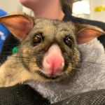 Австралийский поссум в тасманском парке дикой природы Bonorong
