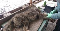 Пойманная волчица бродил у школы №41 на западе Бишкека