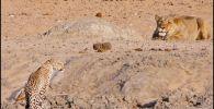 Посетители национального парка Крюгера в ЮАР стали очевидцами охоты львицы на леопарда, которая закончилась провалом для доминирующего хищника.