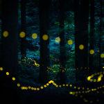 Фото Химеботару летают в лесу из серии Химеботару японца Masahiro Hiroike