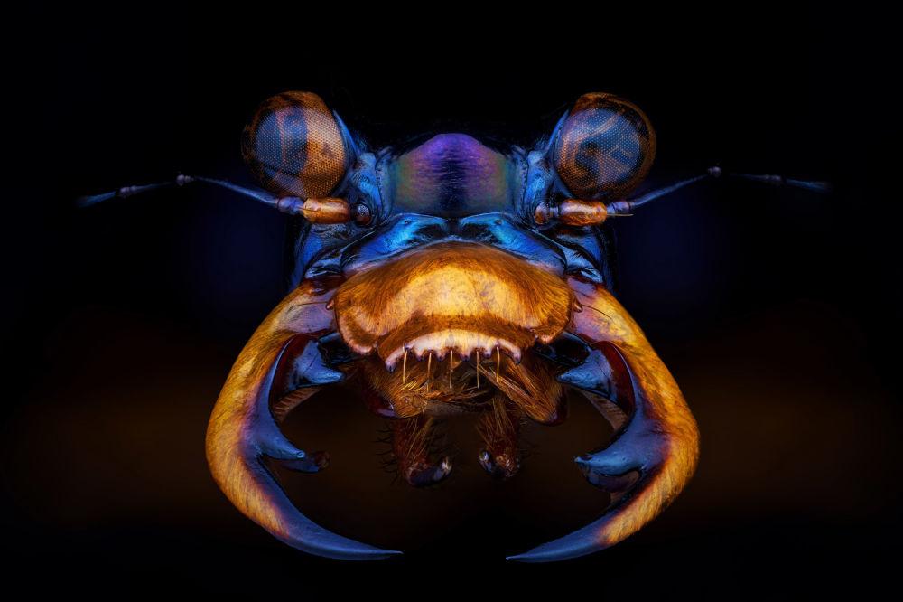 Фотография Тигровый жук из серии Красота маленького мира француза Pierre Anquet