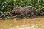 В Бразилии туристы, путешествующие по территории тектонической впадины Пантанал, стали свидетелями охоты ягуара на детеныша выдры.