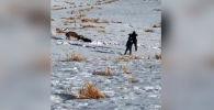 Сотрудник Службы охраны рыбных ресурсов и диких животных округа Калгари (Канада) с помощью точного выстрела разнял сцепившихся рогами оленей.