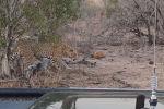 Посетителям национального парка Мала-Мала в Южно-Африканской Республике довелось увидеть необычную сцену из жизни леопардов.