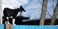 Пес на заборе у жилого дома. Архивное фото