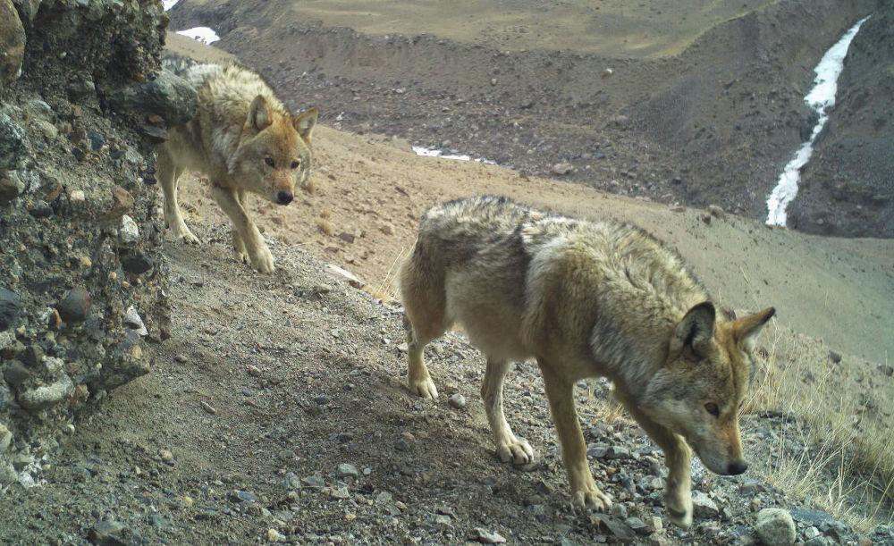 Следующие друг за другом волки