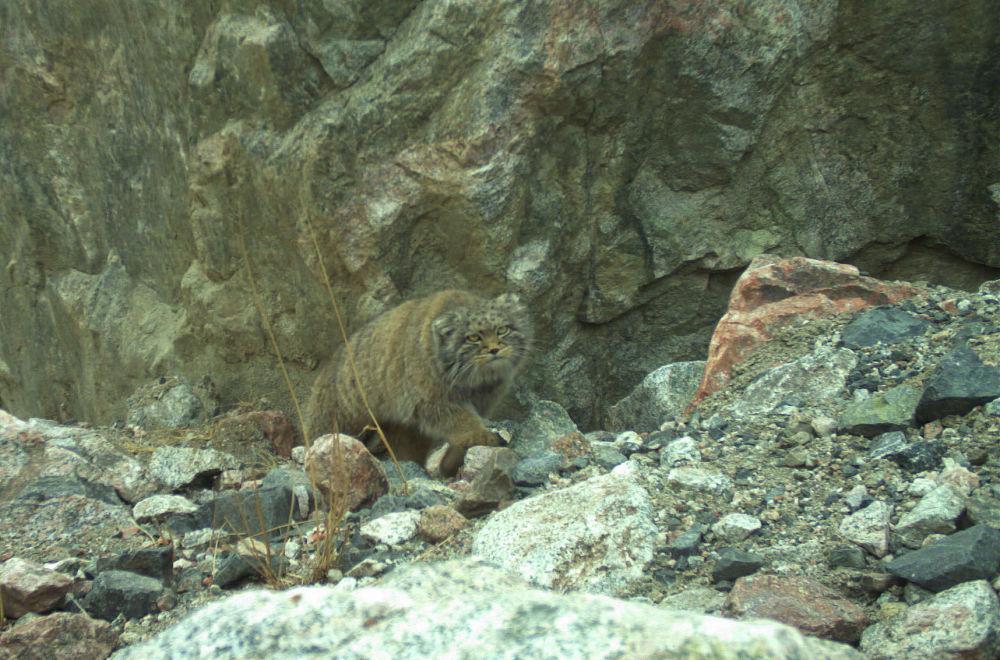 Манул с осторожностью идет по каменистой местности