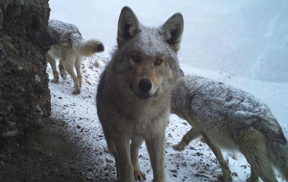 Кажется, волк заметил камеру...