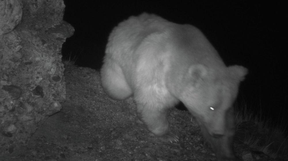 Медведь бродит ночью по горам в поисках еды