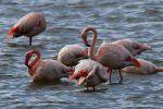Розовые фламинго. Архивное фото
