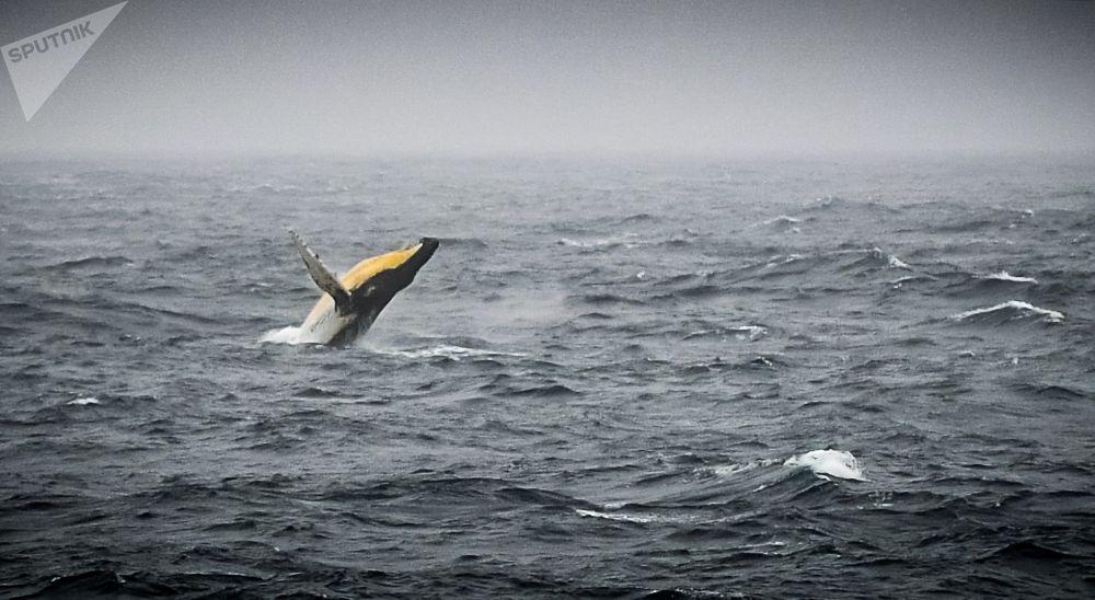 Горбатый кит в море Беллинсгаузена у побережья Антарктиды